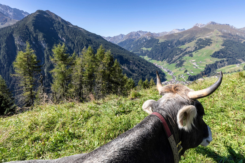 Kuh im Hintertuxer Gletscher